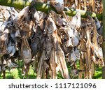 drying heads and skeletons of... | Shutterstock . vector #1117121096