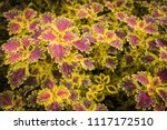 colorful leaves pattern of... | Shutterstock . vector #1117172510