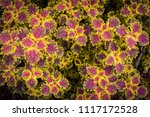 colorful leaves pattern of... | Shutterstock . vector #1117172528