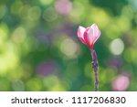 plumeria spp. frangipani... | Shutterstock . vector #1117206830