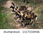 wild african dogs looking for a ... | Shutterstock . vector #1117210436