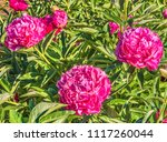 a bush of pink peonies in a... | Shutterstock . vector #1117260044