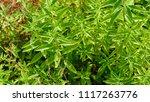 Blossoms Of The Lemon Verbena...