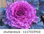 Ornamental Cabbage Floweirng...