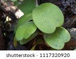 leaves of hoya kerrii craib or... | Shutterstock . vector #1117320920