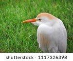 cattle egret closeup profile... | Shutterstock . vector #1117326398