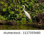 white heron egret  ardea alba ... | Shutterstock . vector #1117335680