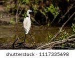 white heron egret  ardea alba ... | Shutterstock . vector #1117335698