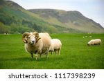 sheeps in the meadow  iceland | Shutterstock . vector #1117398239