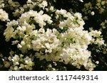 white abundantly flowering...   Shutterstock . vector #1117449314