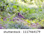 male house sparrow or passer... | Shutterstock . vector #1117464179