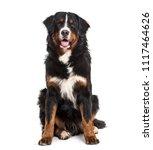 bernese mountain dog  10 months ... | Shutterstock . vector #1117464626