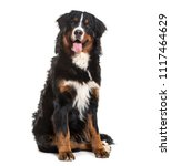 Stock photo bernese mountain dog months old sitting against white background 1117464629