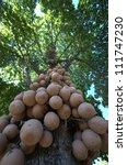 Cannonball Tree - stock photo