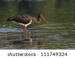 Black Stork Looking For Food