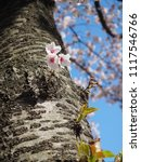 Small photo of Little pink flowers on the trunk. Sakura in sunny day. Cherry blossom tree put forth fresh leaves on its trunk. Brown bark, Blue sky and pink flowers.