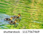 three little ducklings floating ... | Shutterstock . vector #1117567469