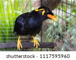 black tropical songbird | Shutterstock . vector #1117595960