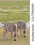 two zebras grazing in amboseli... | Shutterstock . vector #1117596569