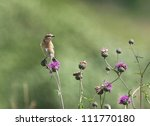Whinchat On The Flower