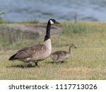 Beautiful Canada Goose