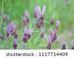 lavender flowers in spring... | Shutterstock . vector #1117714409