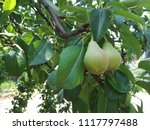 pear  branch with green pears ... | Shutterstock . vector #1117797488