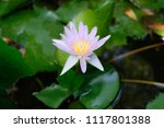this beautiful waterlily or... | Shutterstock . vector #1117801388