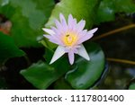 this beautiful waterlily or... | Shutterstock . vector #1117801400