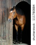 Trakehner Stallion  Photo Take...