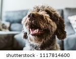 brown spanish water dog with...   Shutterstock . vector #1117814600