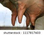 breed cow udder full of milk... | Shutterstock . vector #1117817603