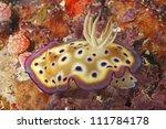 A nudibranch, or sea slug, Chromodoris kuniei. Uepi, Solomon Islands. Solomon Sea, Pacific Ocean - stock photo