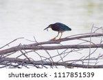 A Green Heron Perches On A...