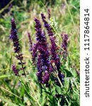 Small photo of Lilac sage blooms in the field