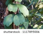 leaves of hoya kerrii craib or... | Shutterstock . vector #1117895006