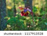 purple pitcher plant ...   Shutterstock . vector #1117913528
