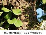 leaves of hoya kerrii craib or... | Shutterstock . vector #1117958969