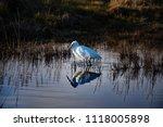 little egret reflected in water | Shutterstock . vector #1118005898