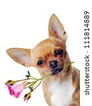 Stock photo chihuahua dog with rose isolated on white background 111814889