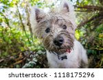 Stock photo dirty west highland terrier westie dog with muddy face outdoors in nature portrait of head with 1118175296