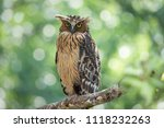 Buffy fish owl  ketupa ketupu ...
