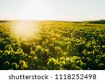 soy field at sunset   Shutterstock . vector #1118252498