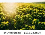 soy field at sunset   Shutterstock . vector #1118252504