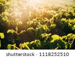 soy field at sunset   Shutterstock . vector #1118252510
