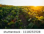 soy field at sunset   Shutterstock . vector #1118252528