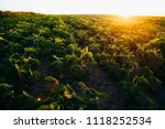 soy field at sunset   Shutterstock . vector #1118252534