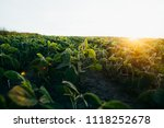 soy field at sunset   Shutterstock . vector #1118252678