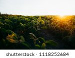 soy field at sunset   Shutterstock . vector #1118252684