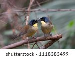 this small songbird  indigenous ... | Shutterstock . vector #1118383499